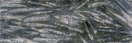 Belemnites aligned in Early Jurassic rocks of Yorkshire.