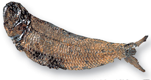 The bony, ray-finned fish Pholidophorus lived in Dorset, southern England during the early Jurassic.