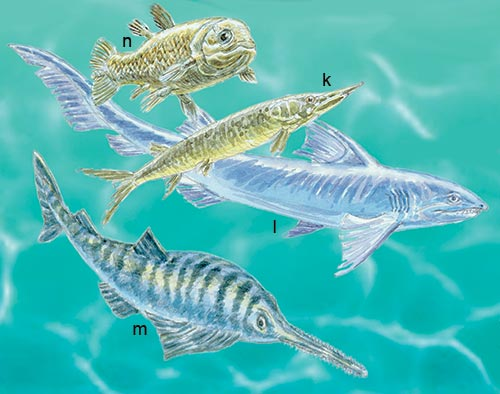 Cretaceous: the primative ray-finned Aspidorhynchus (k) and cartilaginous shark, Hybodus (l), swim past an early skate Sclerorhynchus (m). The lobe-finned coelocanth Macropoma is shown above (n).