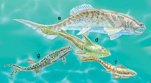 Devonian: the jawless fish Cephalaspis (d) fed on the muddy sea floor while jawed fish such as the 'armoured' Coccosteus (e) and Groenlandaspis (f) swam in the waters above. Cheirolepis (g) was one of the earliest ray-finned fish and a swift predator in freshwaters.