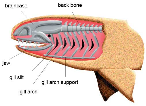 The front gill support of the jawless fish folded over and evolved into a jaw. Later teeth developed along it. In some cases the second gill is reduced to a small hole called a spiracle.