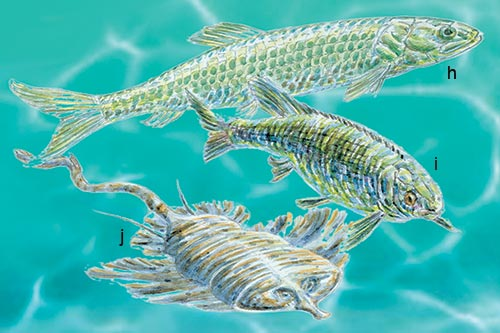 Jurassic: the ray-finned predator Pholidophorus (h) together with Lepidotes (i) and an early ray Spathobatis (j).