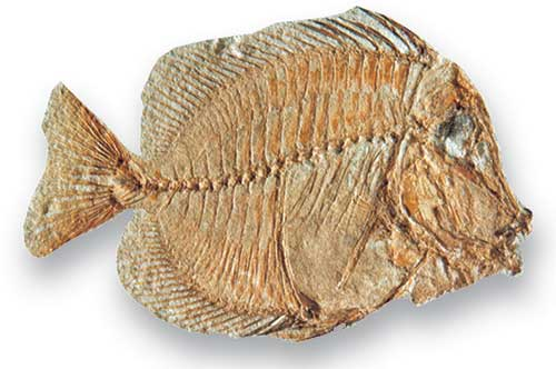Naso, a teleost that lived during the Palaeogene, has been called 'surgeon fish' after the scalpel-like bone at the base of its tail.